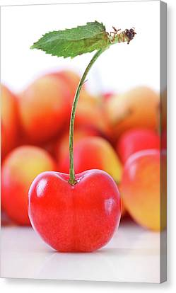 Fresh Ripe Cherries Isolated On White Canvas Print by Sandra Cunningham