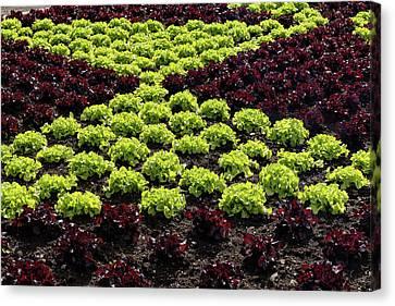 Fresh Spring Checkerboard Pattern In Lime Green And Burgundy Canvas Print by Georgia Mizuleva