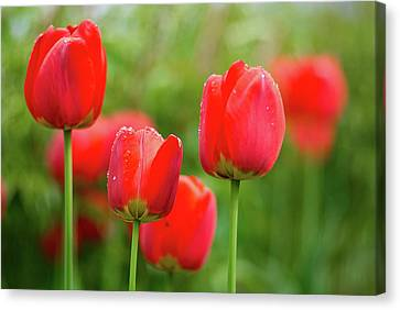 Fresh Spring Tulips Flowers With Water Drops In The Garden  Canvas Print