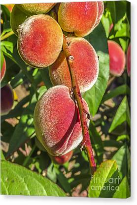 Fresh Tasty And Delicious Peach Canvas Print