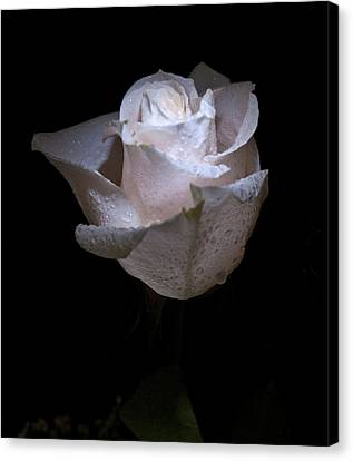 Fresh White Rose Canvas Print by Douglas Barnett