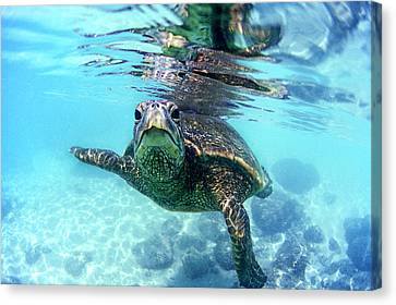 friendly Hawaiian sea turtle  Canvas Print by Sean Davey