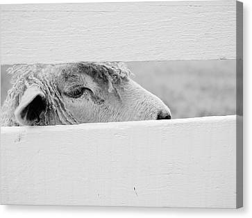 Friendly Sheep Canvas Print