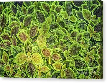 Friendship Plant Canvas Print