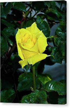 Friendship Yellow Rose With Dewdrops Canvas Print by Douglas Barnett