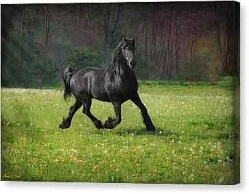 Friesian Power Canvas Print by Fran J Scott