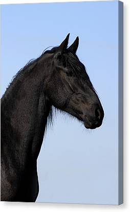 Friesian Stallion Canvas Print by Michael Mogensen