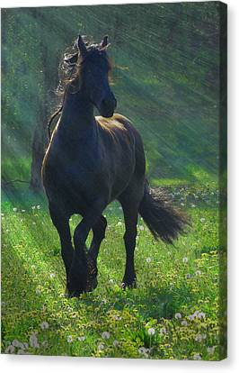 Friesian Sun Canvas Print by Fran J Scott