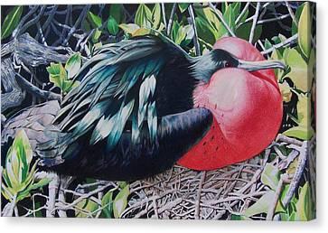 Frigate Bird  Canvas Print by Constance Drescher