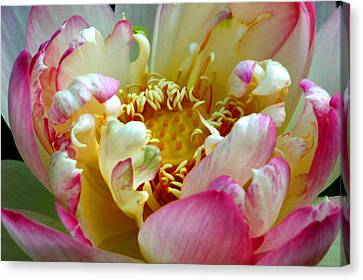Frilly Lotus Canvas Print by Annie Johnson