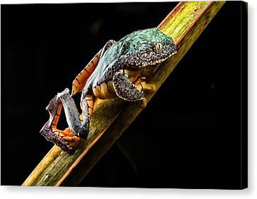 Fringe Tree Frog - Amazon Rain Forest Canvas Print