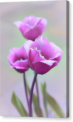 Canvas Print featuring the photograph Fringe Tulips by Jessica Jenney