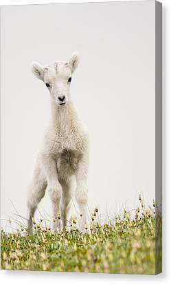 Sheep Canvas Print - Frisky Lamb by Tim Grams