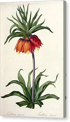 Leaves Canvas Print - Fritillaria Imperialis by Pierre Joseph Redoute