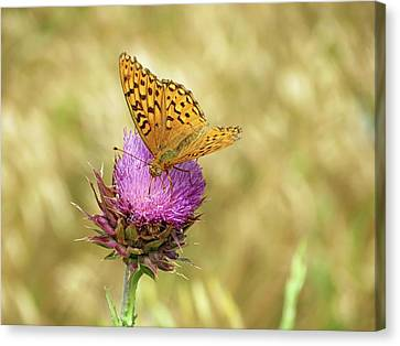 Fritillary Butterfly Canvas Print by Connor Beekman