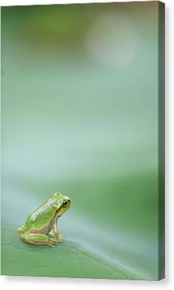 Frog Canvas Print - Frog On Leaf Of Lotus by Naomi Okunaka
