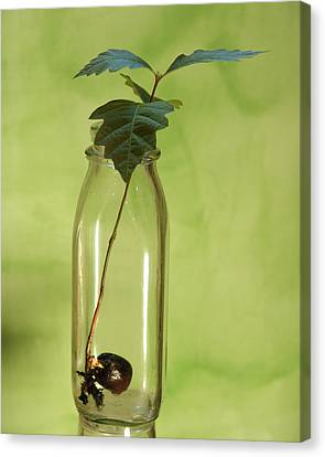 From Little Acorns Canvas Print by Kevin Callahan