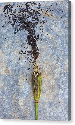 From Tiny Seeds Canvas Print by Tim Gainey