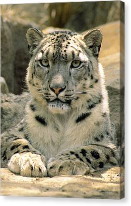 Frontal Portrait Of A Snow Leopards Canvas Print by Jason Edwards