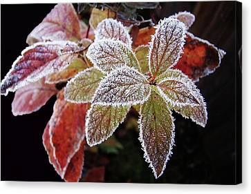 Frost Cluster Canvas Print by Betsy Zimmerli