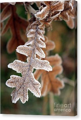 Frost Covered Oak Leaf Canvas Print