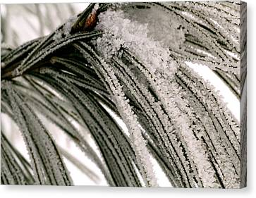 Frost Covered Pine Needles II Canvas Print by Amanda Kiplinger