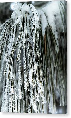 Frost Covered Pine Needles IIi Canvas Print by Amanda Kiplinger