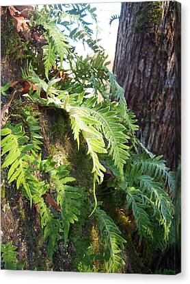 Frost On Ferns Canvas Print by Ken Day