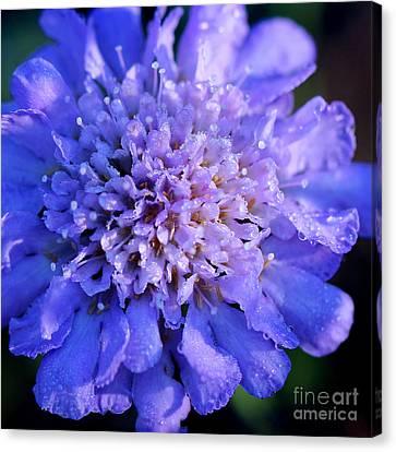 Butterfly Blue Pincushion Flower Canvas Print - Frosted Blue Pincushion Flower by Karen Adams
