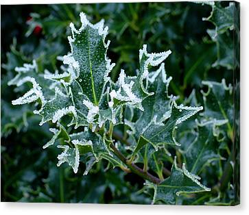Frosted Holly Canvas Print by Shirley Heyn