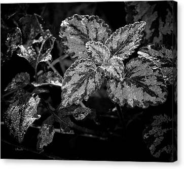 Frosted Hosta Canvas Print