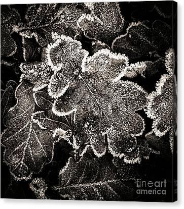 Frosted Oak Leaves . Canvas Print by Bernard Jaubert