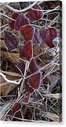 Frosted Red Green Briar Canvas Print by Douglas Barnett