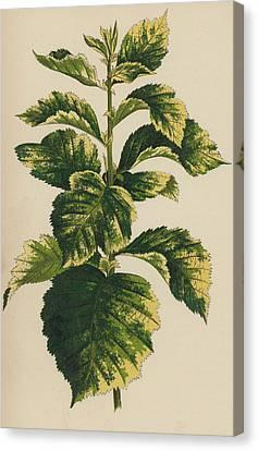 Frosted Thorn, Crataegus Prunifolia Variegata Canvas Print