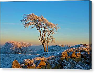 Frosted Tree Canvas Print by Mark Denham
