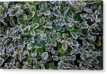 Frosty Hedgerow Canvas Print