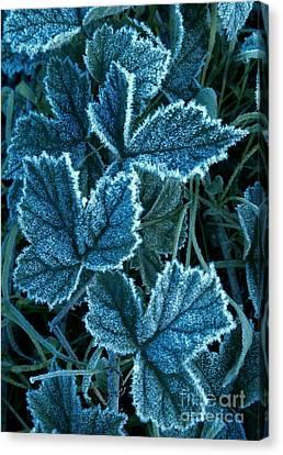 Frosty Ivy Canvas Print by Garnett  Jaeger