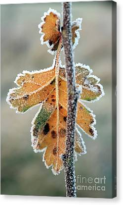 Frosty Leaf Canvas Print