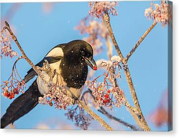 Black-billed Magpie Canvas Print - Frosty Magpie by Tim Grams