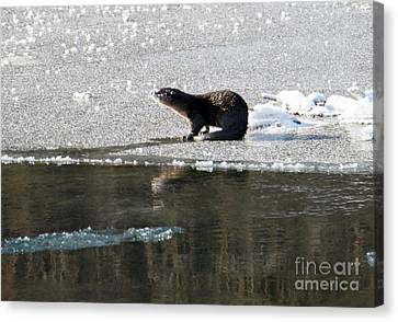 Frosty River Otter  Canvas Print by Mike Dawson