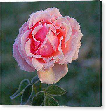 Frosty Rose Canvas Print by Monica Lewis