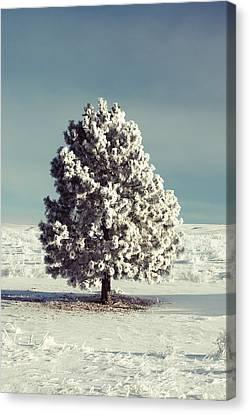 Frosty The Tree Canvas Print by Todd Klassy