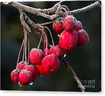 Frosted Apples Canvas Print