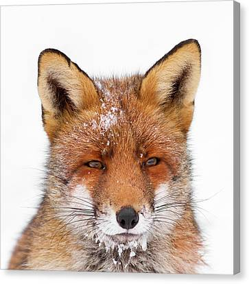 Frozen Fox Canvas Print by Roeselien Raimond