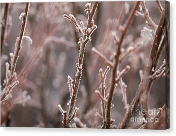 Canvas Print featuring the photograph Frozen Garden by Ana V Ramirez