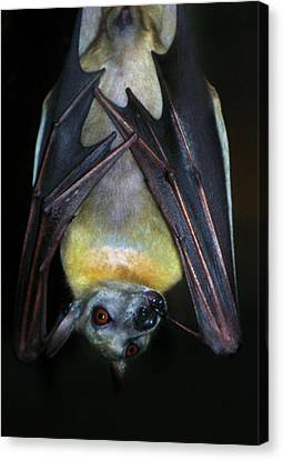 Canvas Print featuring the photograph Fruit Bat by Anthony Jones