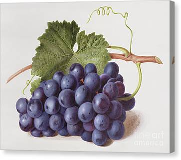 Fruit Of The Vine Canvas Print by Augusta Innes Withers