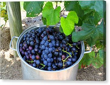 Concord Grapes Canvas Print - Fruit Of The Vine by Kathryn Meyer