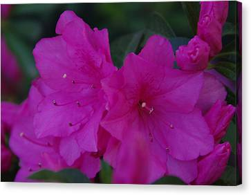 Canvas Print featuring the photograph Fuchsia Azaleas by Robyn Stacey