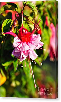 Fuchsia Enjoying The Sunshine Canvas Print by Kaye Menner